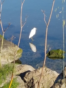 Reflected Egret